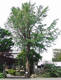 台風で倒れた木